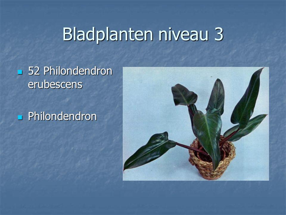 Bladplanten niveau 3 50 Pellaea rotundifolia 50 Pellaea rotundifolia Dubbeltjesvaren Dubbeltjesvaren