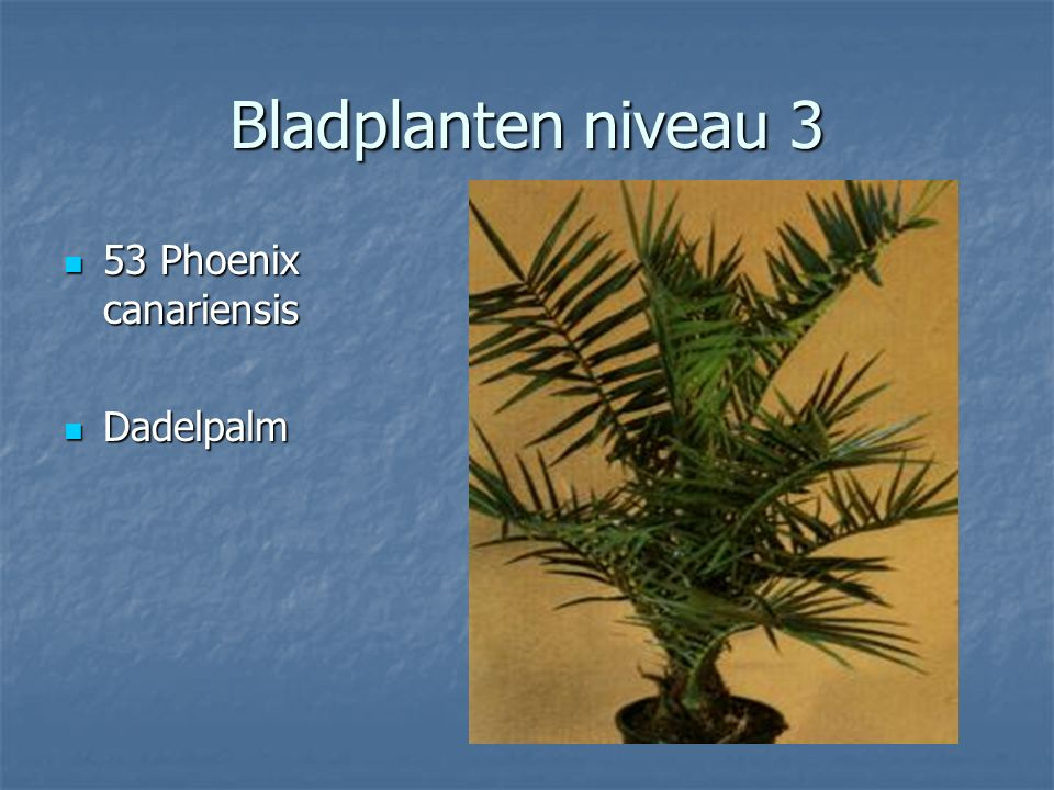 Bladplanten niveau 3 51 Peperomia caperata 51 Peperomia caperata Rattestaartje Rattestaartje