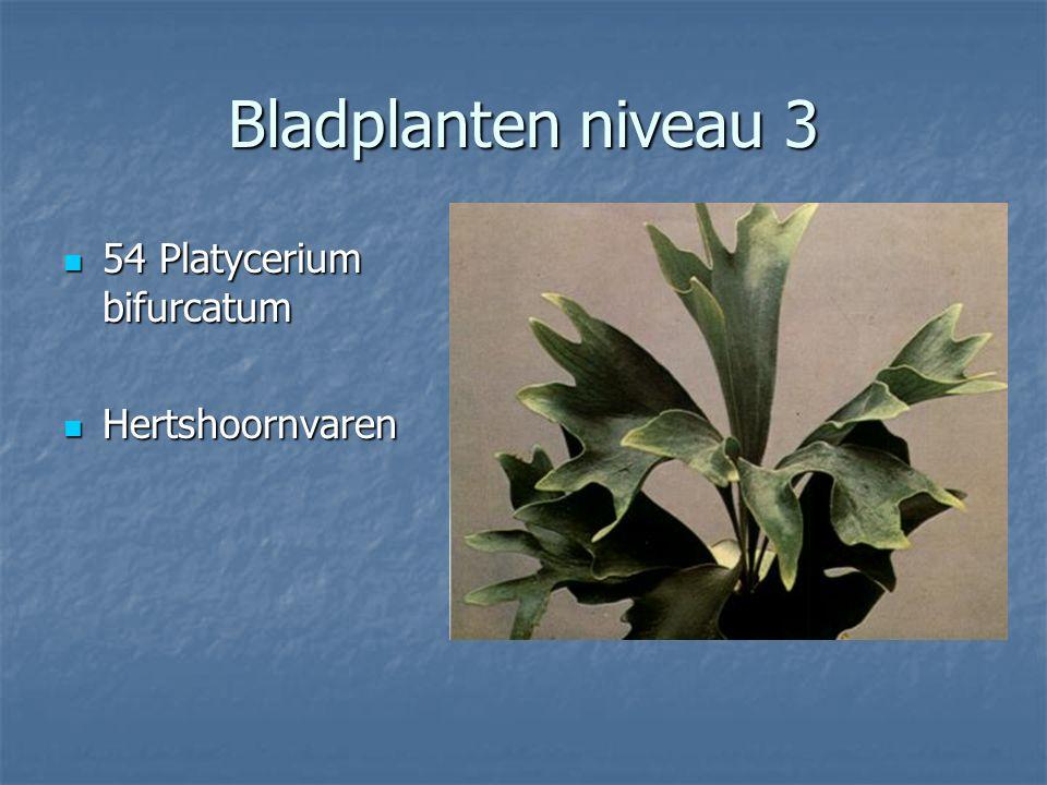 Bladplanten niveau 3 53 Phoenix canariensis 53 Phoenix canariensis Dadelpalm Dadelpalm