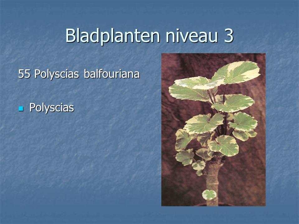 Bladplanten niveau 3 54 Platycerium bifurcatum 54 Platycerium bifurcatum Hertshoornvaren Hertshoornvaren