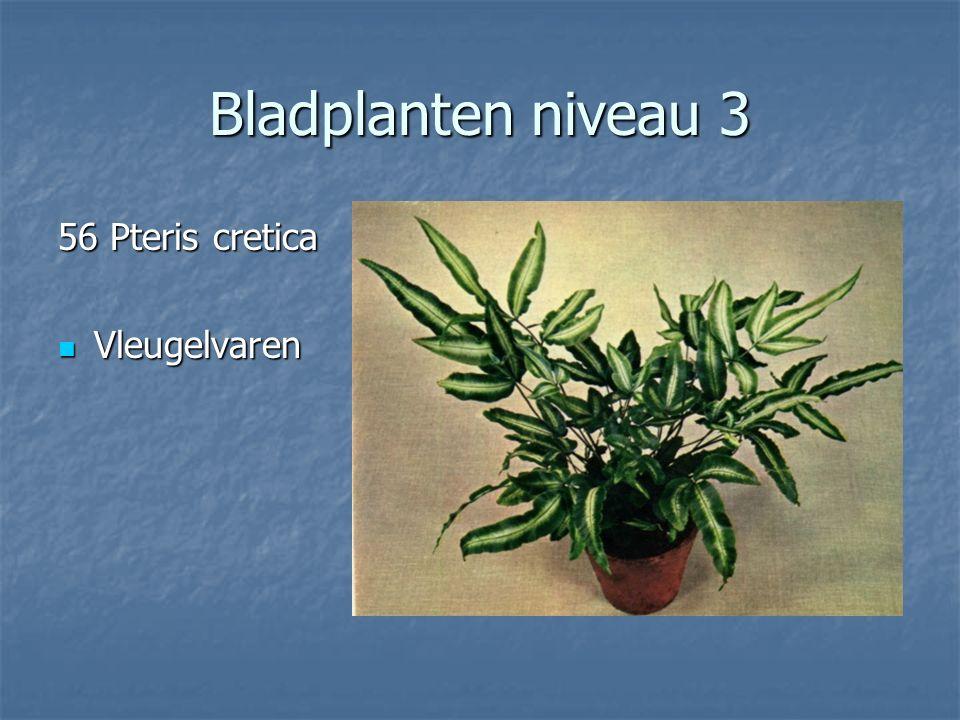 Bladplanten niveau 3 55 Polyscias balfouriana Polyscias Polyscias