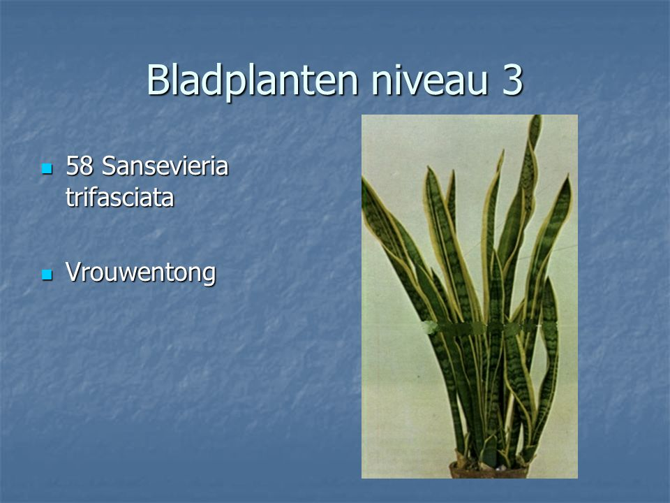 Bladplanten niveau 3 57 Rhapis exelsa 57 Rhapis exelsa Palm Palm