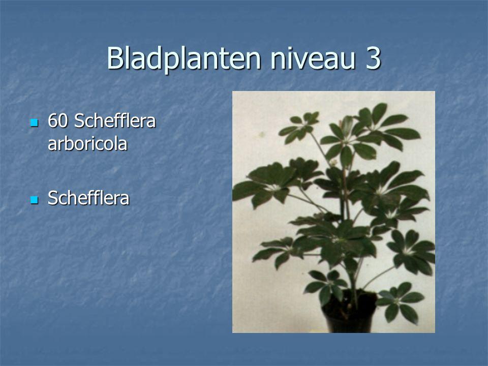 Bladplanten niveau 3 59 Saxifraga stolonifera 59 Saxifraga stolonifera Moederplantje Moederplantje