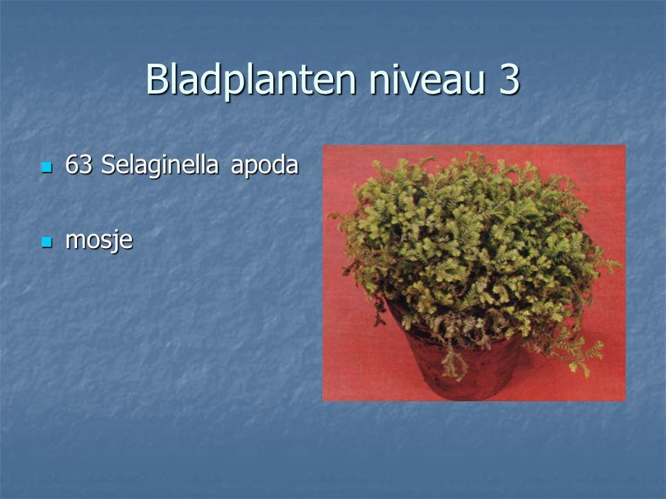 Bladplanten niveau 3 62 Sedum norganianum 62 Sedum norganianum Dikblad Dikblad