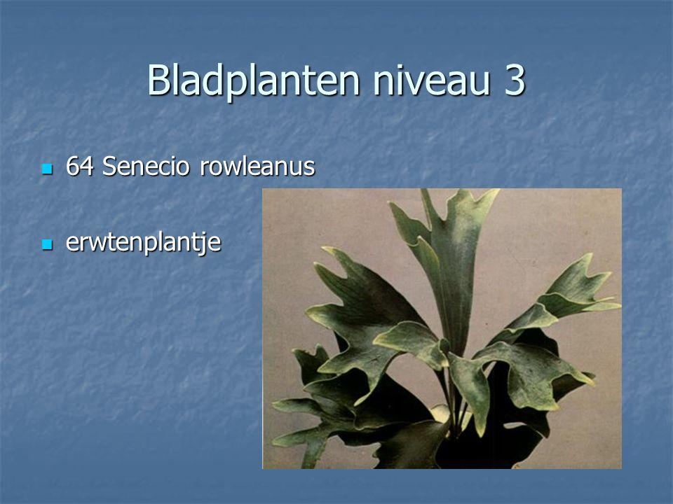 Bladplanten niveau 3 63 Selaginella apoda 63 Selaginella apoda mosje mosje