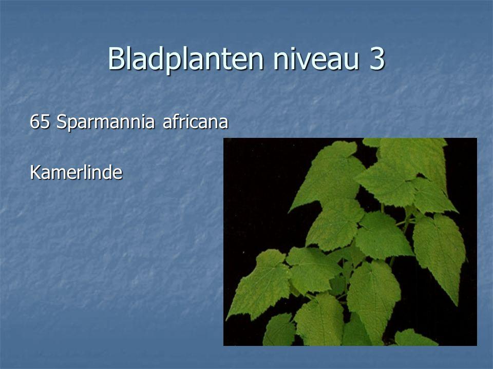 Bladplanten niveau 3 64 Senecio rowleanus 64 Senecio rowleanus erwtenplantje erwtenplantje
