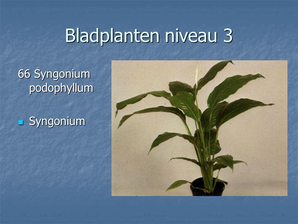 Bladplanten niveau 3 65 Sparmannia africana Kamerlinde