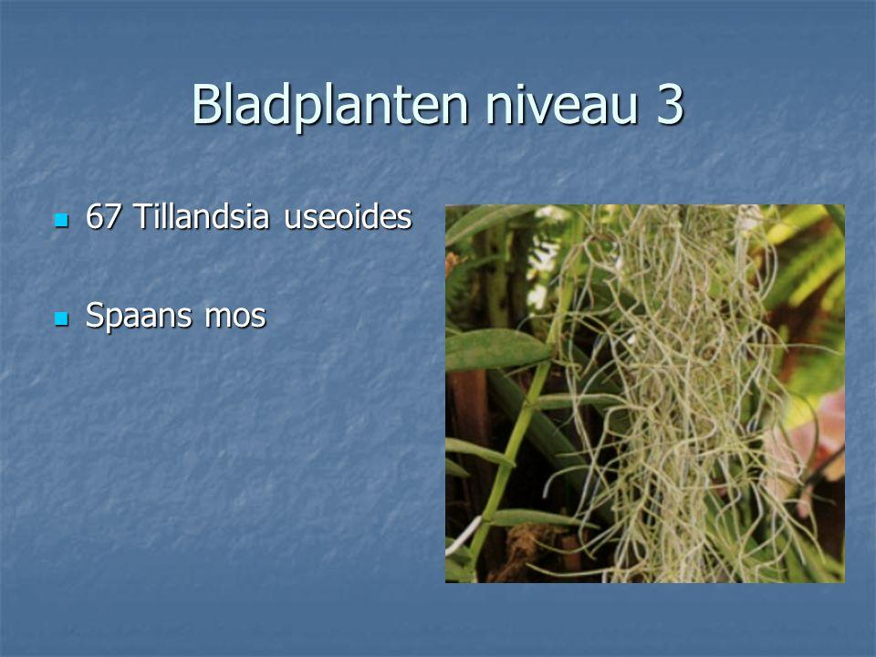 Bladplanten niveau 3 66 Syngonium podophyllum Syngonium Syngonium