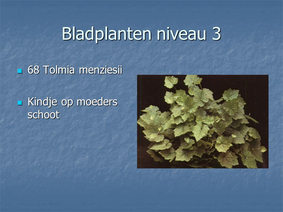 Bladplanten niveau 3 67 Tillandsia useoides 67 Tillandsia useoides Spaans mos Spaans mos