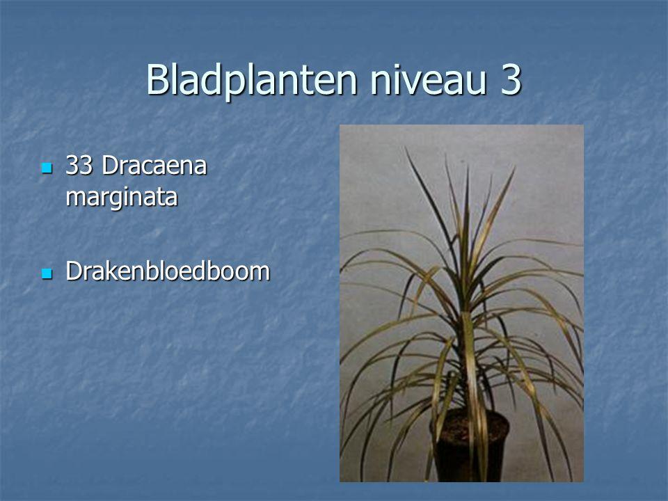 Bladplanten niveau 3 32 Dracaena deremensis Compacta 32 Dracaena deremensis Compacta Drakenbloedboom Drakenbloedboom