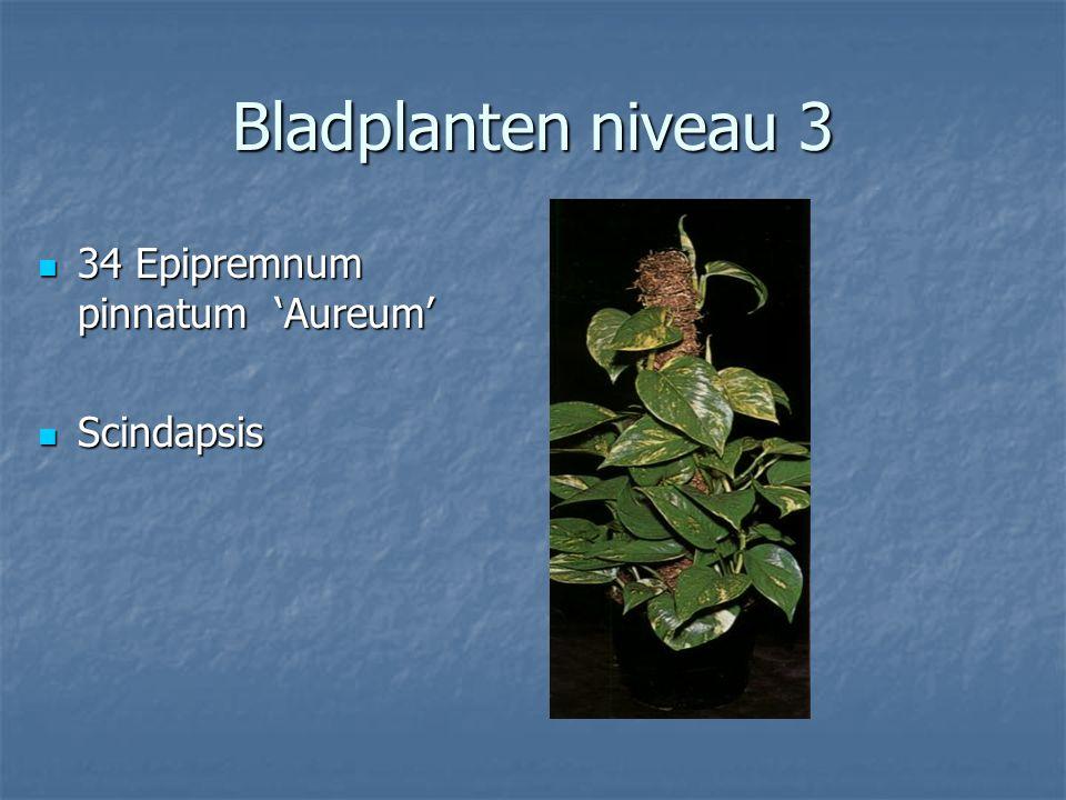 Bladplanten niveau 3 33 Dracaena marginata 33 Dracaena marginata Drakenbloedboom Drakenbloedboom