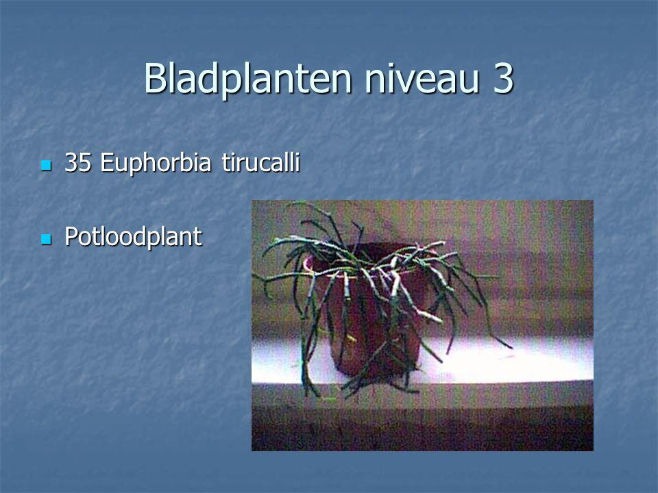 Bladplanten niveau 3 34 Epipremnum pinnatum Aureum 34 Epipremnum pinnatum Aureum Scindapsis Scindapsis