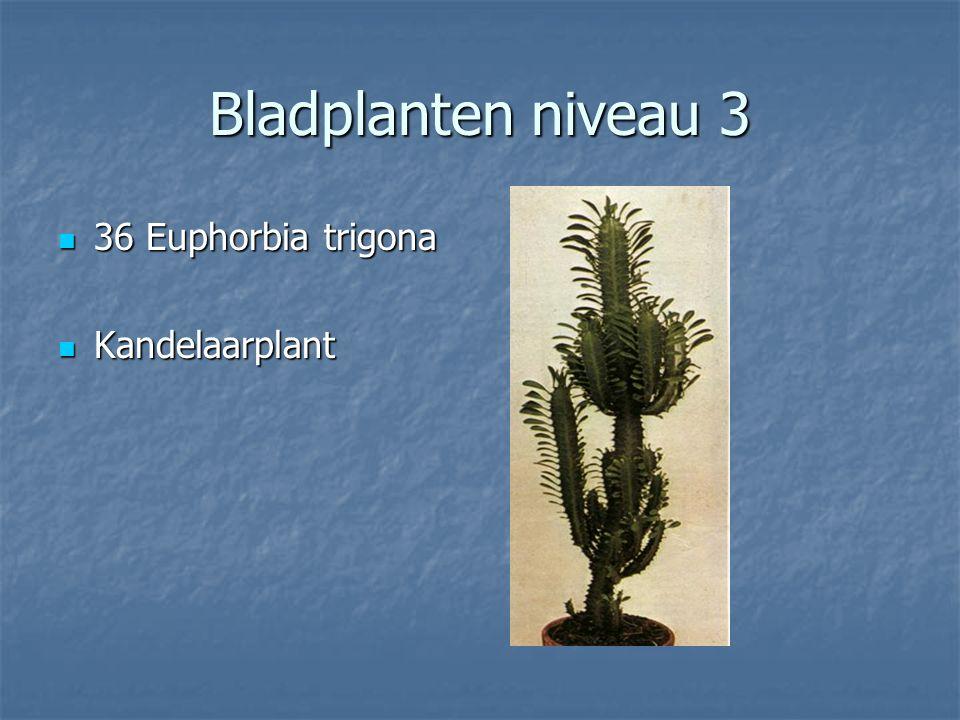 Bladplanten niveau 3 35 Euphorbia tirucalli 35 Euphorbia tirucalli Potloodplant Potloodplant