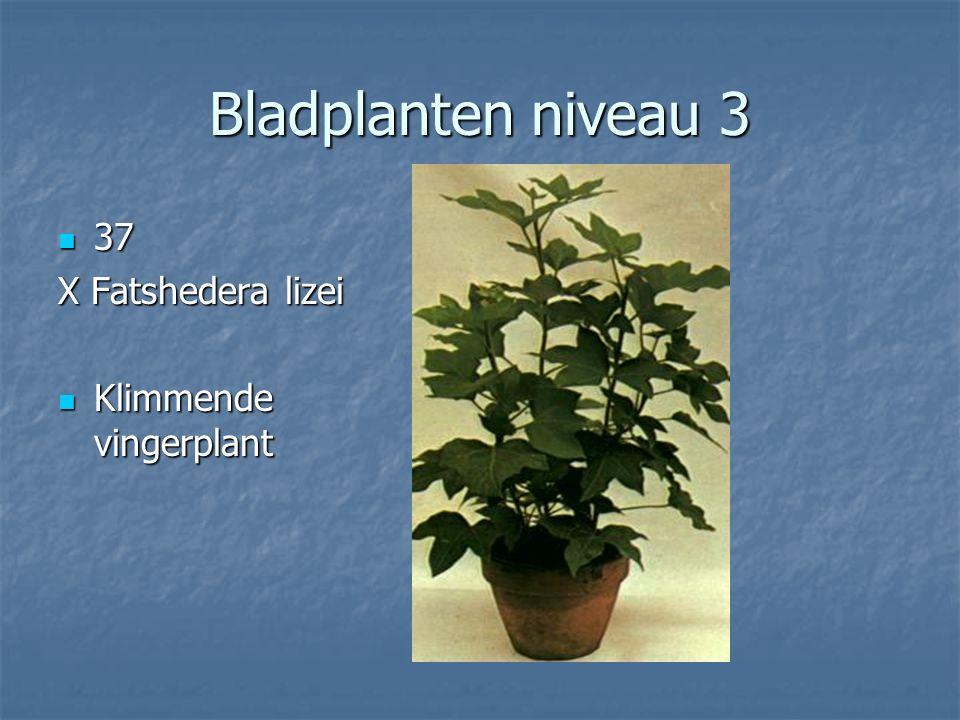 Bladplanten niveau 3 36 Euphorbia trigona 36 Euphorbia trigona Kandelaarplant Kandelaarplant