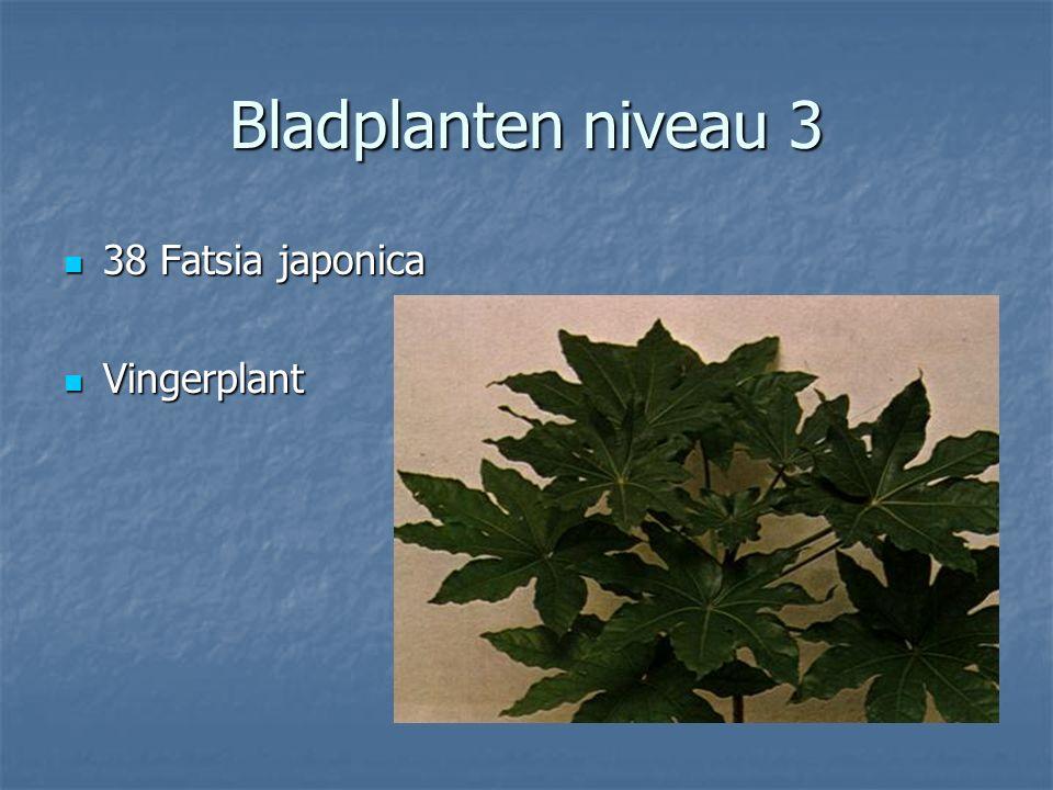 Bladplanten niveau 3 37 37 X Fatshedera lizei Klimmende vingerplant Klimmende vingerplant