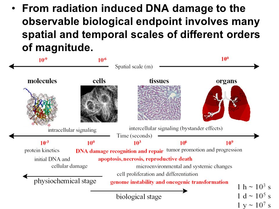 From radiation induced DNA damage to the observable biological endpoint involves many spatial and temporal scales of different orders of magnitude.
