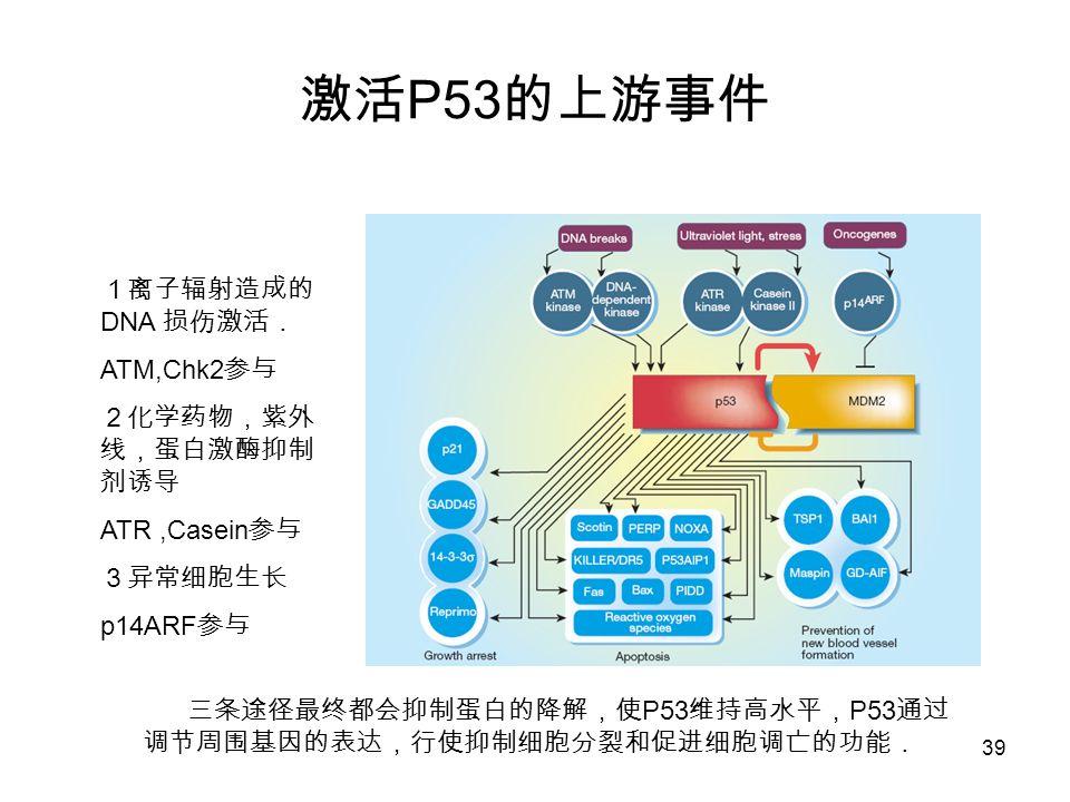 39 P53 DNA ATM,Chk2 ATR,Casein p14ARF P53 P53