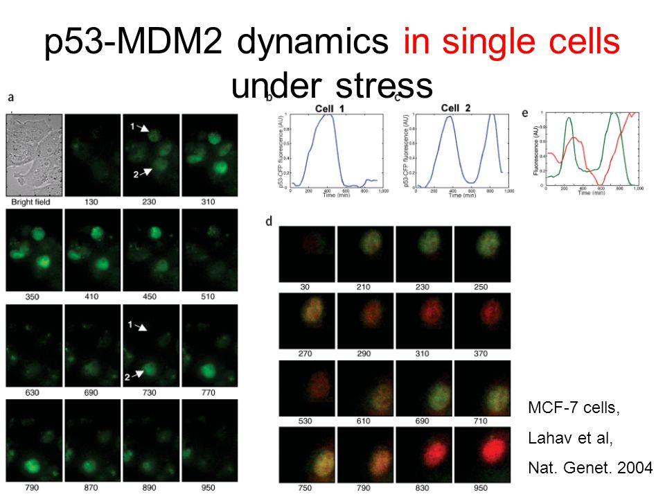 MCF-7 cells, Lahav et al, Nat. Genet. 2004 p53-MDM2 dynamics in single cells under stress