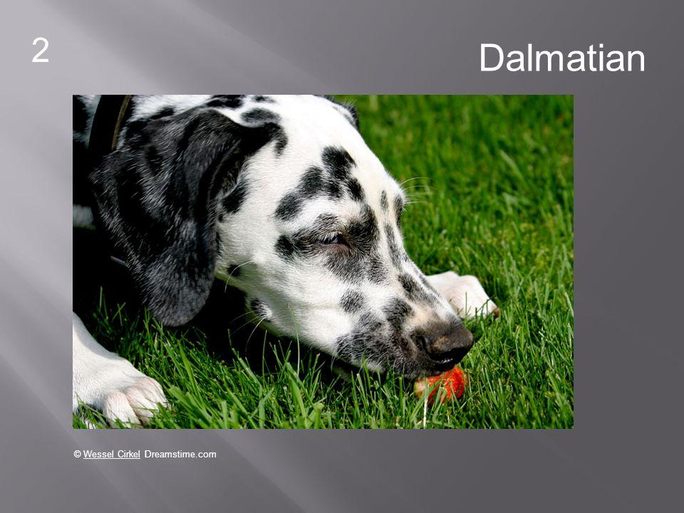 2 © Wessel Cirkel Dreamstime.com Dalmatian