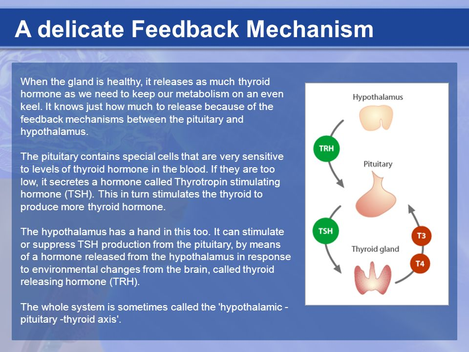 A delicate Feedback Mechanism When the gland is healthy, it releases as much thyroid hormone as we need to keep our metabolism on an even keel. It kno