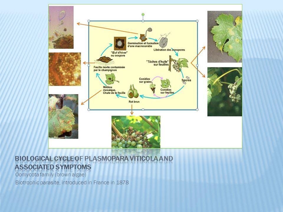 Oomycota family (brown algae) Biotrophic parasite, introduced in France in 1878