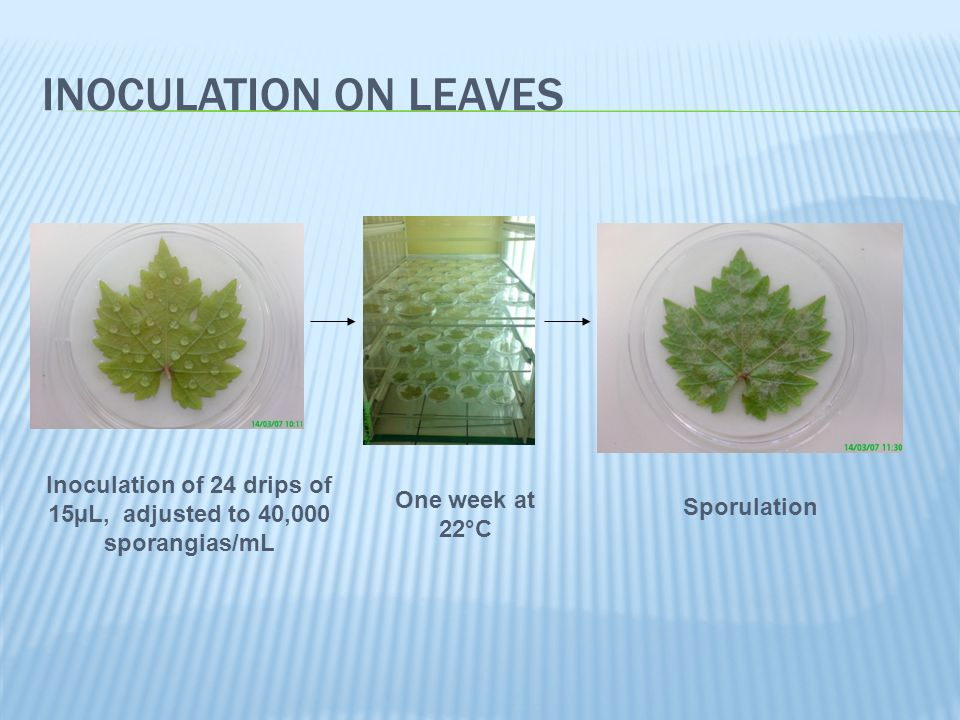 INOCULATION ON LEAVES Inoculation of 24 drips of 15µL, adjusted to 40,000 sporangias/mL One week at 22°C Sporulation
