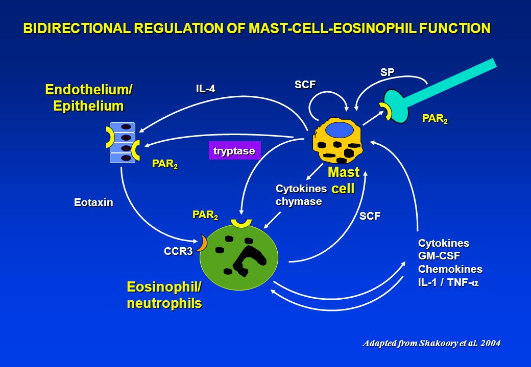 BIDIRECTIONAL REGULATION OF MAST-CELL-EOSINOPHIL FUNCTION tryptase PAR 2 SCF SCF CytokinesGM-CSFChemokines IL-1 / TNF- IL-1 / TNF- Mastcell Eosinophil/neutrophils Cytokineschymase Adapted from Shakoory et al.