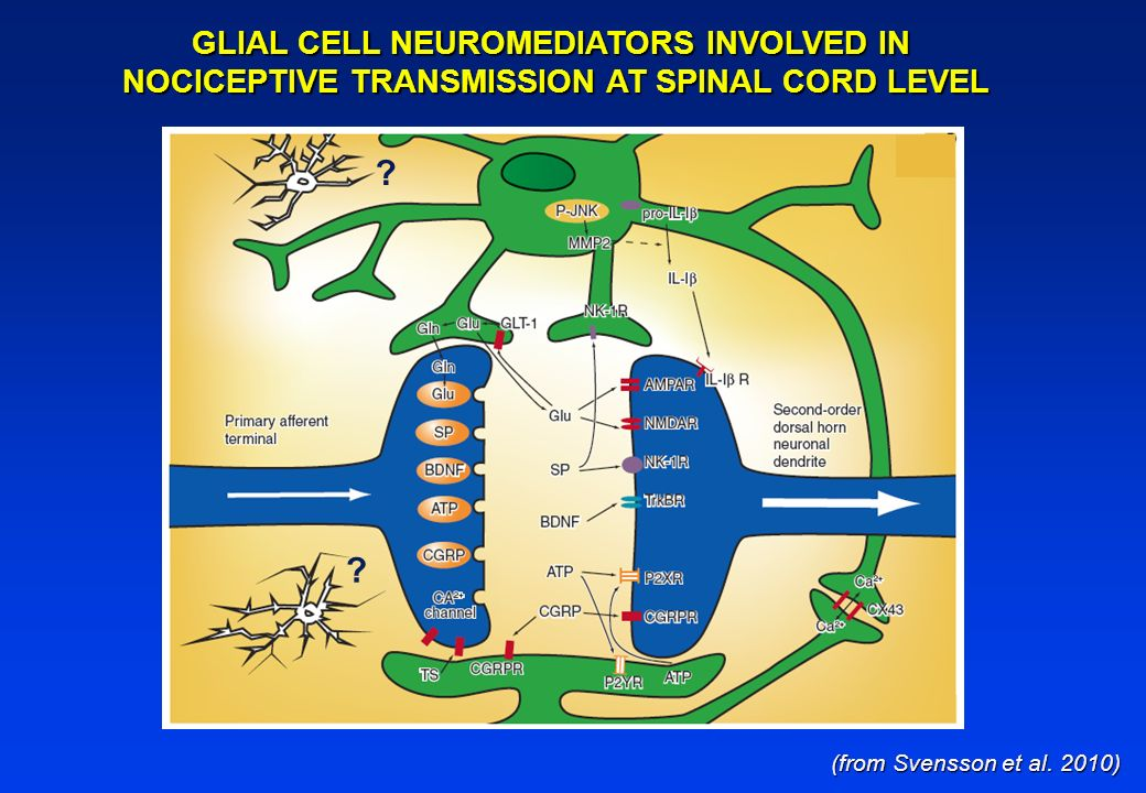(from Svensson et al. 2010) GLIAL CELL NEUROMEDIATORS INVOLVED IN NOCICEPTIVE TRANSMISSION AT SPINAL CORD LEVEL ? ?