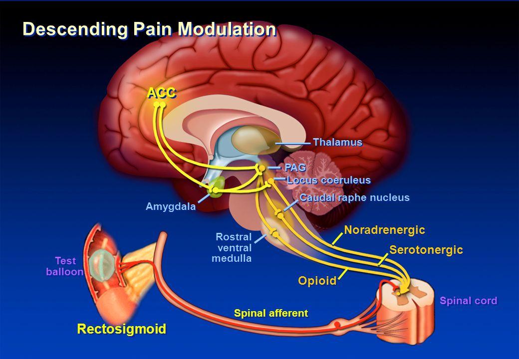 ACC Rectosigmoid Noradrenergic Thalamus PAG Locus coeruleus Caudal raphe nucleus Opioid Rostral ventral medulla Amygdala Descending Pain Modulation Se