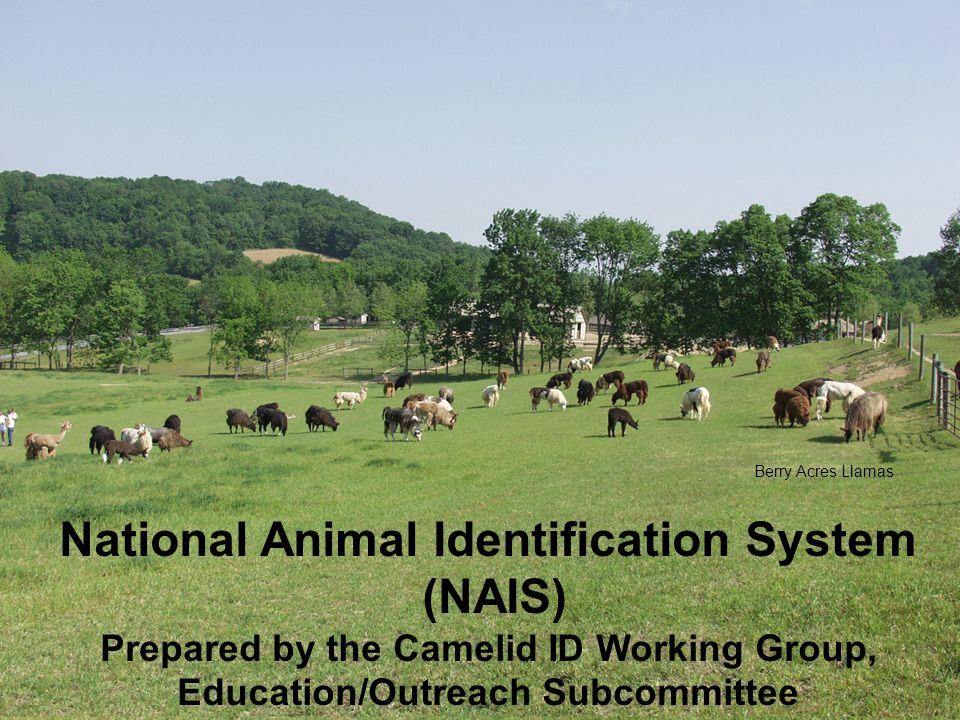National Animal Identification System (NAIS) Prepared by the Camelid ID Working Group, Education/Outreach Subcommittee Berry Acres Llamas