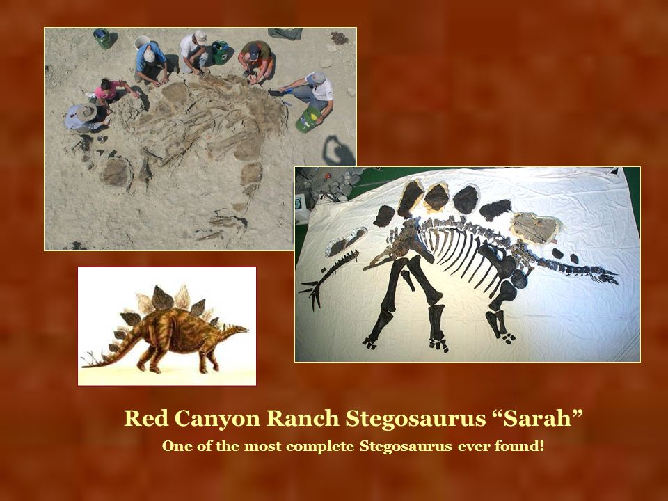 Red Canyon Ranch Stegosaurus Sarah One of the most complete Stegosaurus ever found!