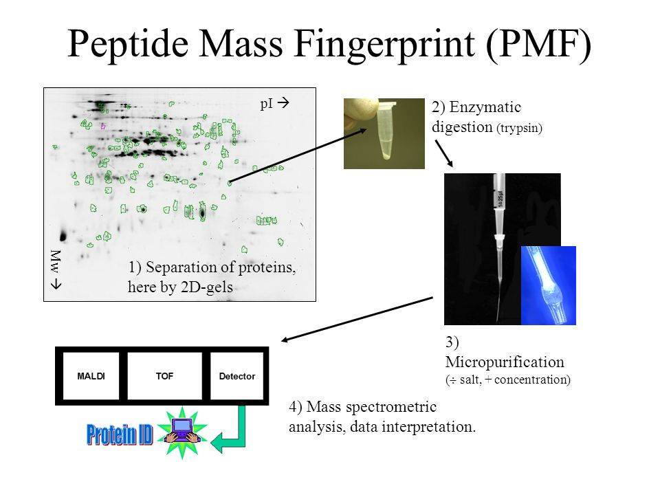 Peptide Mass Fingerprint (PMF) 2) Enzymatic digestion (trypsin) 3) Micropurification ( salt, + concentration) 4) Mass spectrometric analysis, data interpretation.