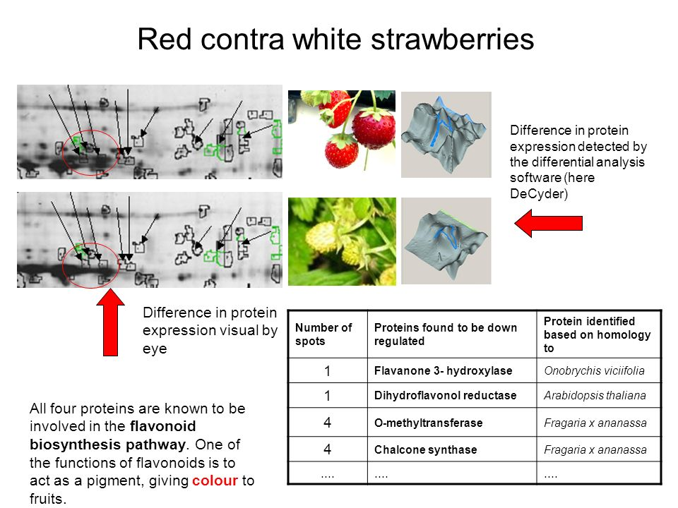 Difference in protein expression visual by eye Difference in protein expression detected by the differential analysis software (here DeCyder) Red contra white strawberries Number of spots Proteins found to be down regulated Protein identified based on homology to 1 Flavanone 3- hydroxylaseOnobrychis viciifolia 1 Dihydroflavonol reductaseArabidopsis thaliana 4 O-methyltransferaseFragaria x ananassa 4 Chalcone synthaseFragaria x ananassa....