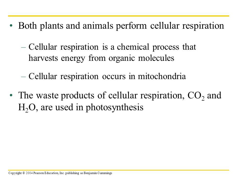 Copyright © 2004 Pearson Education, Inc. publishing as Benjamin Cummings Both plants and animals perform cellular respiration –Cellular respiration is