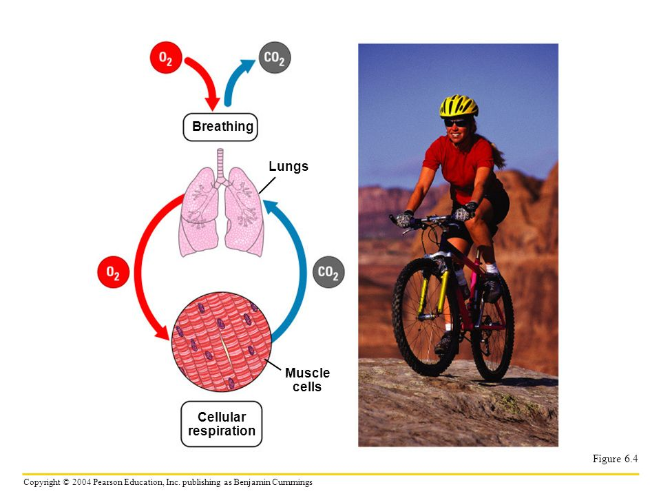 Copyright © 2004 Pearson Education, Inc. publishing as Benjamin Cummings Figure 6.4 Breathing Lungs Muscle cells Cellular respiration