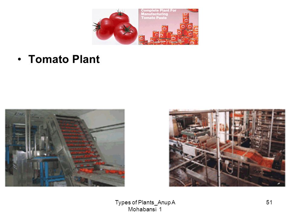 Types of Plants_Anup A Mohabansi 1 51 Tomato Plant