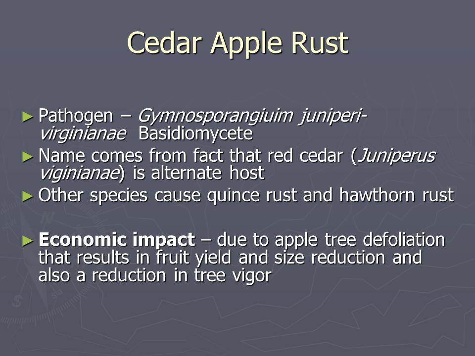 Cedar Apple Rust Pathogen – Gymnosporangiuim juniperi- virginianae Basidiomycete Pathogen – Gymnosporangiuim juniperi- virginianae Basidiomycete Name