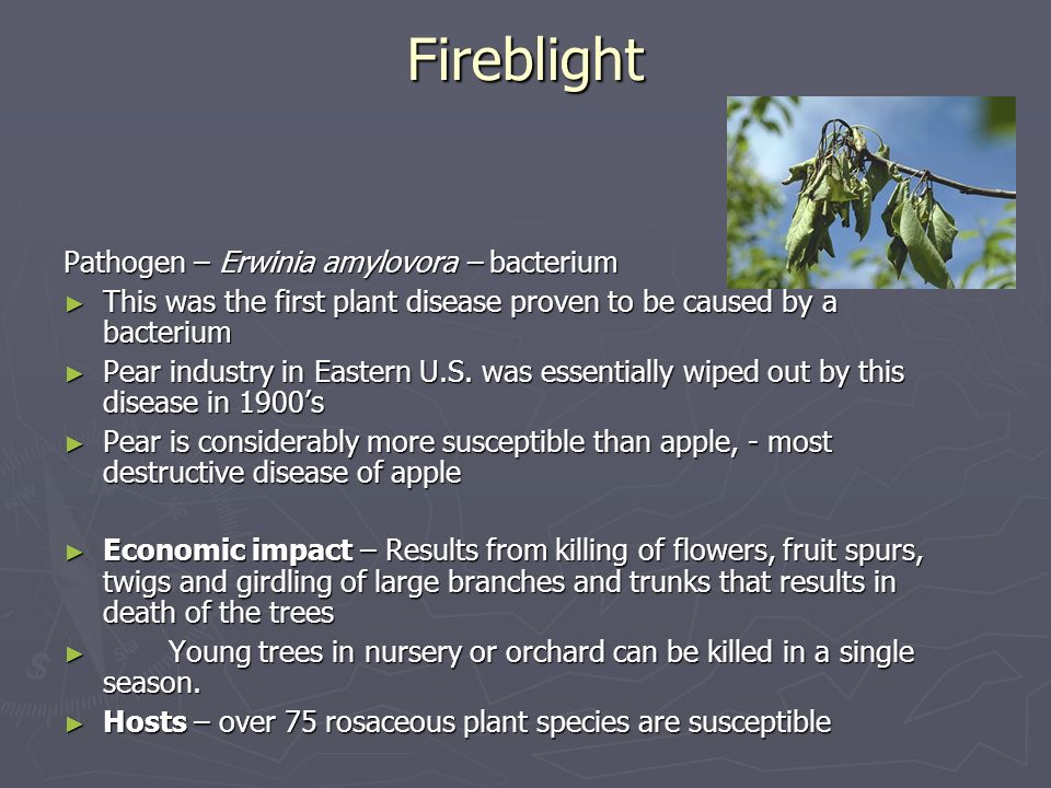 Fireblight Pathogen – Erwinia amylovora – bacterium This was the first plant disease proven to be caused by a bacterium This was the first plant disea