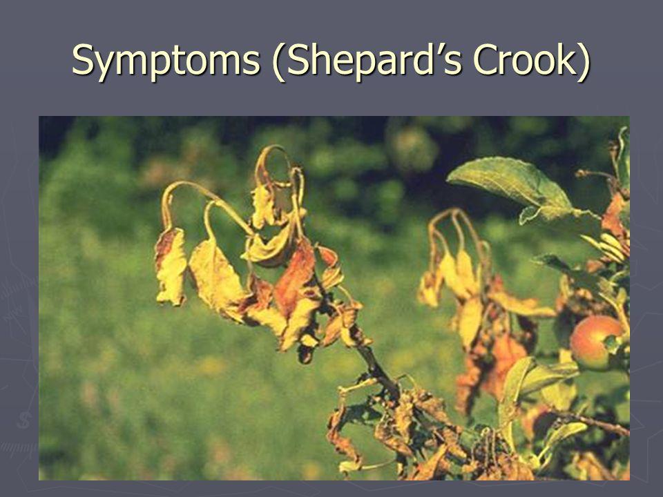 Symptoms (Shepards Crook)