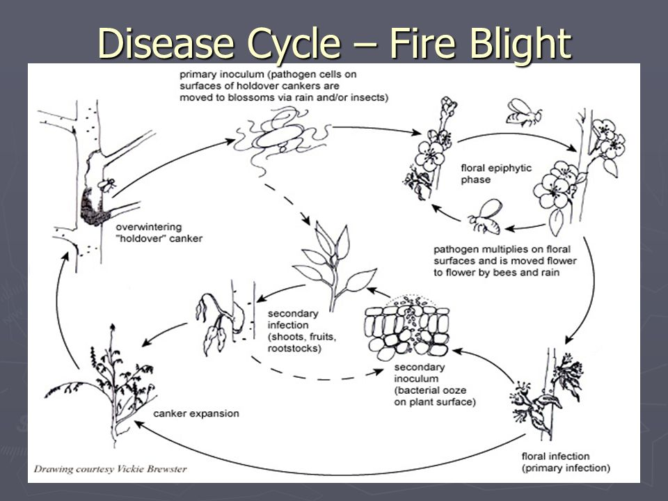 Disease Cycle – Fire Blight