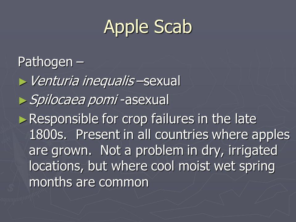 Apple Scab Pathogen – Venturia inequalis –sexual Venturia inequalis –sexual Spilocaea pomi -asexual Spilocaea pomi -asexual Responsible for crop failu