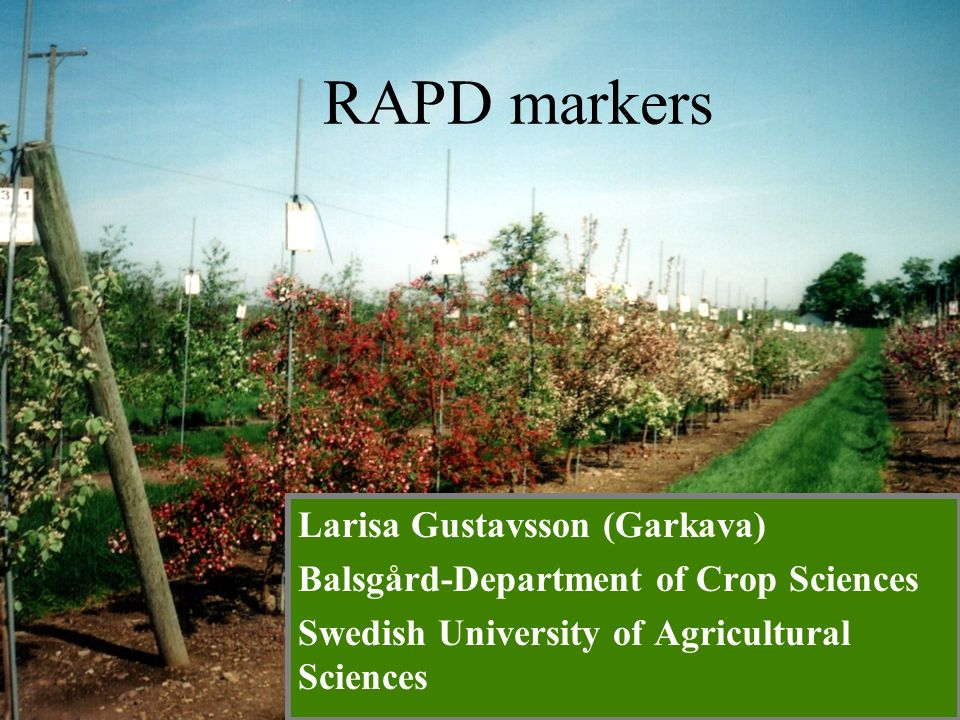 Larisa Gustavsson (Garkava) Balsgård-Department of Crop Sciences Swedish University of Agricultural Sciences RAPD markers