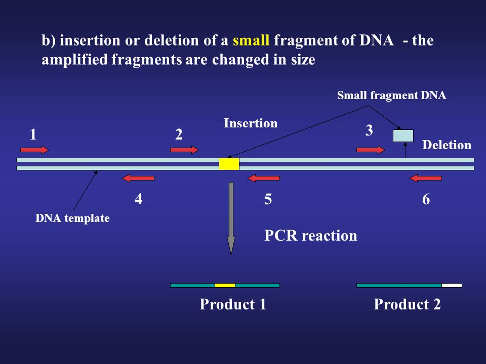 b) insertion or deletion of a small fragment of DNA - the amplified fragments are changed in size 2 3 5 DNA template PCR reaction 6 Product 1Product 2