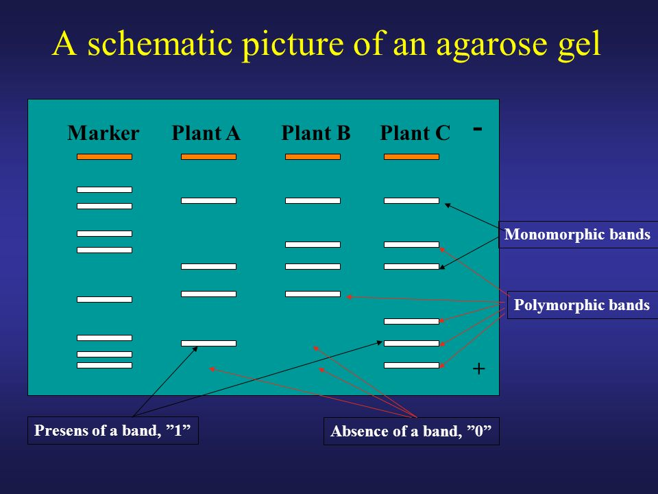 A schematic picture of an agarose gel Plant AMarkerPlant B - + Plant C Monomorphic bands Polymorphic bands Presens of a band, 1 Absence of a band, 0