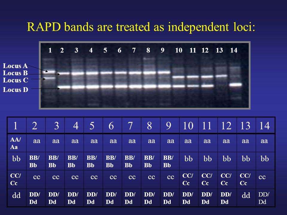 RAPD bands are treated as independent loci: AA/ Aa aa bb BB/ Bb bb CC/ Cc cc CC/ Cc cc dd DD/ Dd dd DD/ Dd 1 2 3 4 5 6 7 8 91011121314 Locus A Locus B