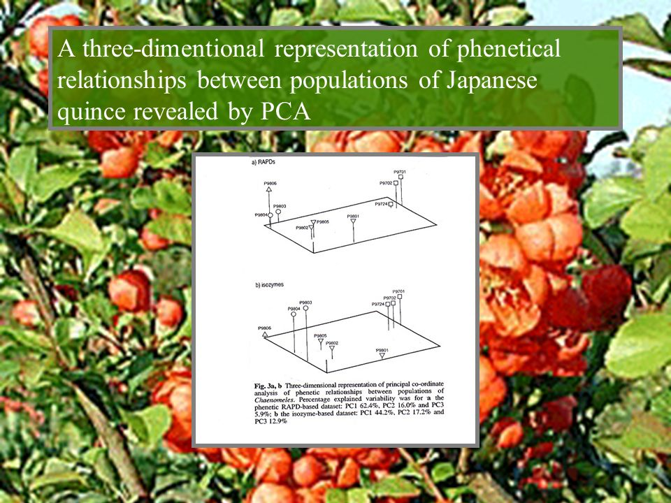 A three-dimentional representation of phenetical relationships between populations of Japanese quince revealed by PCA