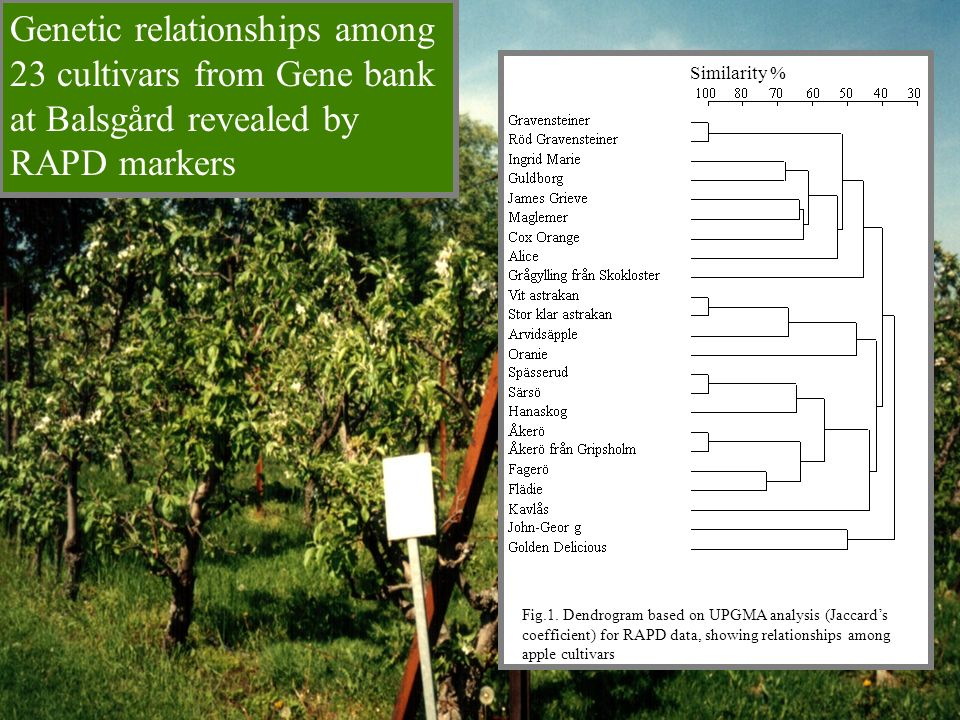 Fig.1. Dendrogram based on UPGMA analysis (Jaccards coefficient) for RAPD data, showing relationships among apple cultivars Similarity % Genetic relat