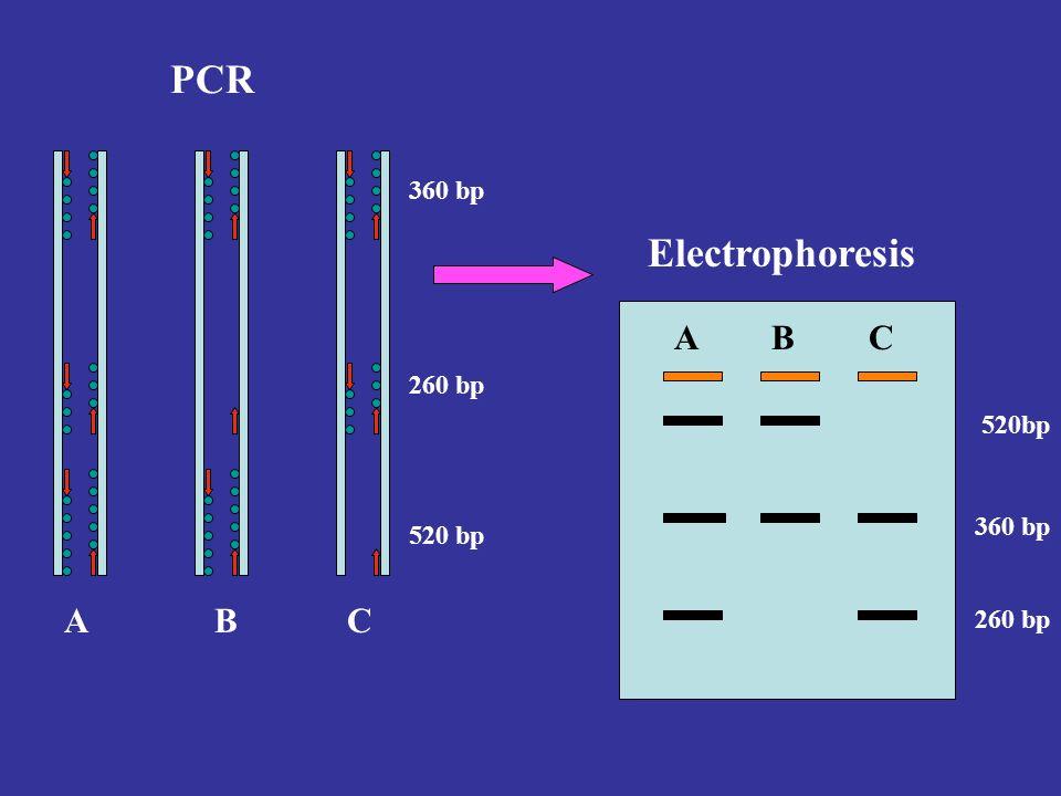 Electrophoresis PCR 360 bp 260 bp 520 bp 260 bp 360 bp ABC ABC