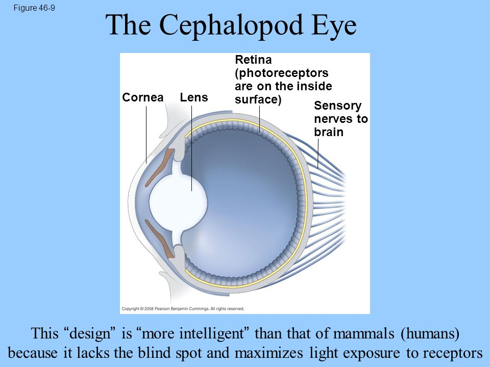 Figure 46-9 CorneaLens Retina (photoreceptors are on the inside surface) Sensory nerves to brain The Cephalopod Eye This design is more intelligent th