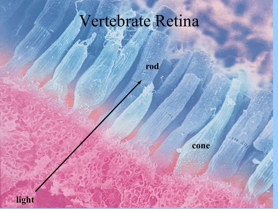Vertebrate Retina cone rod light